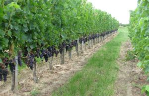 Merlot_grapes_in_Bourg_vineyard