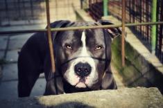 pit-bull-in-jail