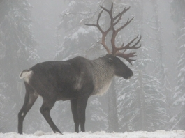 woodland_caribou_southern_selkirk_mountains_of_idaho_2007